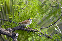 White-throated Sparrow perched. A White-throated Sparrow perched high up in a tree Stock Photos