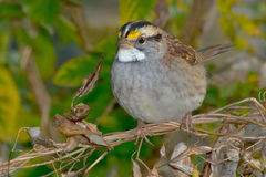 White-throated Sparrow Royalty Free Stock Image
