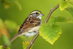 White-throated Sparrow Perched in a Shrub Stock Photos