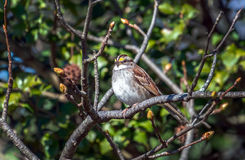 White-throated Sparrow perched on tree branch in Spring. White-throated Sparrow perched on a budding tree branch during Spring stock photography