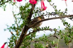 White-throated sparrow, perched on a tree branch stock photography