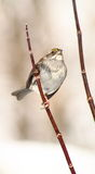 White Throated Sparrow Stock Photo