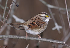 White-throated Sparrow Pose Royalty Free Stock Images