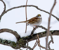 A White Throated Sparrow After A Recent Snowfall.  Stock Photos