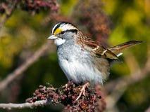 White-Throated Sparrow Royalty Free Stock Photos