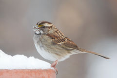 White Throated sparrow in snow Stock Photos