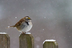 White-throated Sparrow in a Snowstorm Royalty Free Stock Photo