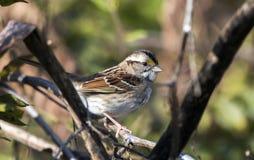 White-throated Sparrow songbird, Georgia USA. White Throated Sparrow fall migration songbird in Monroe, Walton County, GA. The white-throated sparrow Zonotrichia stock photos