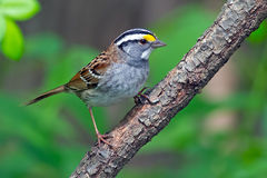 White-Throated Sparrow. Standing on a branch stock photo