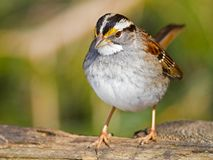 White-Throated Sparrow Royalty Free Stock Photo