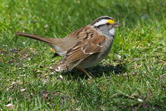 White-throated Sparrow Royalty Free Stock Images