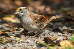White-throated Sparrow Stock Photography