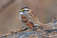 White-Throated Sparrow Stock Image