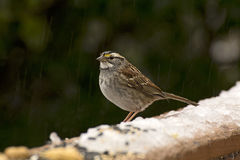White-Throated Sparrow Standing on Snow Branch Royalty Free Stock Photo