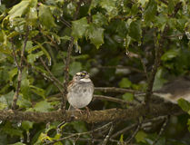 White-Throated Sparrow On Tree Branch Stock Photography