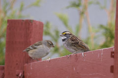 White-throated Sparrow and white-crowned sparrow Stock Images