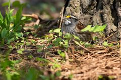 White-throated Sparrow. Standing at the base of a tree. Ashbridges Bay Park, Toronto, Ontario, Canada Royalty Free Stock Image