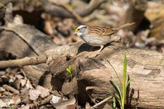White-throated Sparrow. Standing on a petrified log. Ashbridges Bay park, Toronto, Ontario, Canada Royalty Free Stock Images