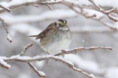 White-throated Sparrow (zonotrichia albicollis) in Snow Royalty Free Stock Image