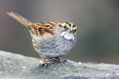 White-throated sparrow (zonotrichia aibicolis) Stock Image