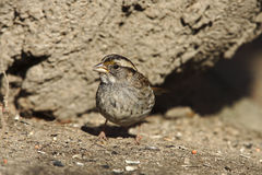 White-throated Sparrow (Zonotrichia albicollis) Royalty Free Stock Image