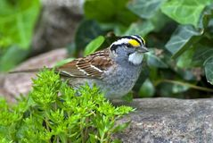 White-throated Sparrow (Zonotrichia albicollis) Stock Photo