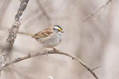 White-throated Sparrow Royalty Free Stock Photos