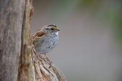 White-throated Sparrow (Zonotrichia albicollis). White-stripe morph in spring molt peering around tree trunk Royalty Free Stock Photography
