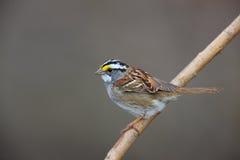 White-throated Sparrow (Zonotrichia albicollis). White-stripe morph sitting on branch Royalty Free Stock Images