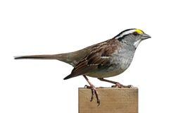 White-throated Sparrow (Zonotrichia albicollis) Royalty Free Stock Photography