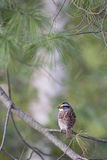 White-Throated Sparrow - Zonotrichia albicollis Stock Photography