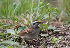 White-throated Sparrow, Zonotrichia albicollis Royalty Free Stock Photos