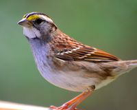 White-throated Sparrow (Zonotrichia albicollis) Royalty Free Stock Photo