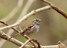 White-throated Sparrow. Zonotrichia albicollis, perched on a branch Royalty Free Stock Photos