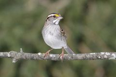 White-throated Sparrow. (Zonotrichia albicollis) perched on a branch Royalty Free Stock Photography