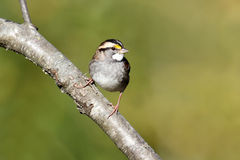 White-throated Sparrow. (Zonotrichia albicollis) perched on a branch Royalty Free Stock Photos