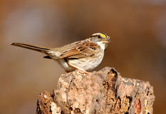 White-throated Sparrow (Zonotrichia albicollis) Stock Photography