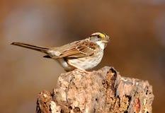 White-throated Sparrow (Zonotrichia albicollis) Stock Photography