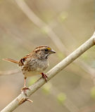 White-throated Sparrow, Zonotrichia albicollis Royalty Free Stock Photography