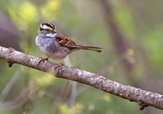 White-throated Sparrow, Zonotrichia albicollis Stock Photo