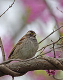 White-throated Sparrow, Zonotrichia albicollis Royalty Free Stock Photo