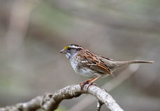 White-throated Sparrow, Zonotrichia albicollis Royalty Free Stock Images