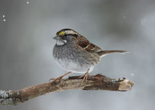 White Throated Sparrow. A white throated sparrow (Zonotrichia albicollis) perching on a branch in winter Stock Image