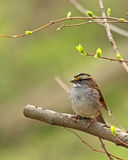 White-throated Sparrow. Zonotrichia albicollis, perching on a tree branch Royalty Free Stock Images