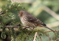 White Throated Sparrow Or Zonotrichia Albicollis Stock Images