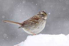 White-throated Sparrow (zonotrichia albicollis) in Snow Royalty Free Stock Images