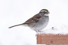 White-throated Sparrow & x28;zonotrichia albicollis& x29; in Snow. White-throated Sparrow & x28;zonotrichia albicollis& x29; perched in falling snow Stock Image
