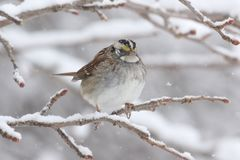 White-throated Sparrow (zonotrichia albicollis) in Snow Royalty Free Stock Image