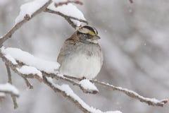 White-throated Sparrow (zonotrichia albicollis) in Snow Stock Images