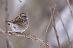 White-throated Sparrow (Zonotrichia albicollis). Spotted in Central Park, New York Royalty Free Stock Image